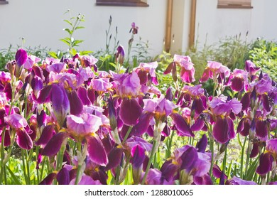 Flowerbed with blooming purple irises in the park
