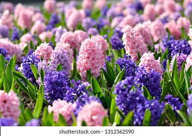 Flowerbed with colorful hyacinths, traditional spring flower, Easter flower, Easter background, floral background