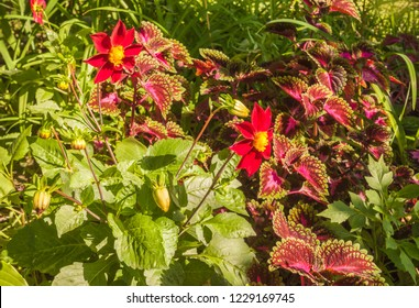 Flowerbed of dahlia, coleus and daylily on a sunny day. Harmonious combination of pink and purple flowers on a flower bed.