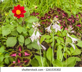 Flowerbed of dahlia, coleus and hosta in garden. Harmonious combination of pink and purple flowers on a flower bed.