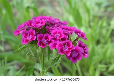 Flowerbed of Dianthus barbatus. Close up of deep pink and red head Dianthus barbatus (Sweet William) flower (or Bart Nelke)