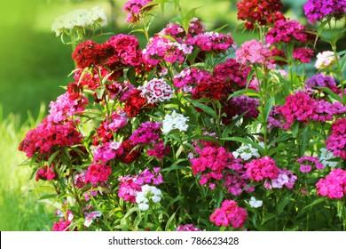 Flowerbed of Dianthus barbatus. Color photo of William flowers