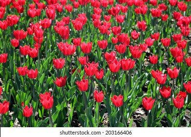 Flower-bed with flowering red tulips