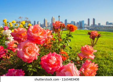 Flowerbed with fresh roses and drops of water against the background of downtown San Diego, early in the morning. Roses in San Diego. San Diego morning skyline with roses. Focus on flowers.