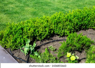 flowerbed with a green plant growing in the ground with drip irrigation, close up plantations with leafy bushes of boxwood against a green lawn.