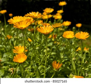 Flowerbed with many flowers calendula officinalis, orange colour.
