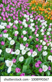 Flowerbed of mixed color tulips for floral spring-time landscapes