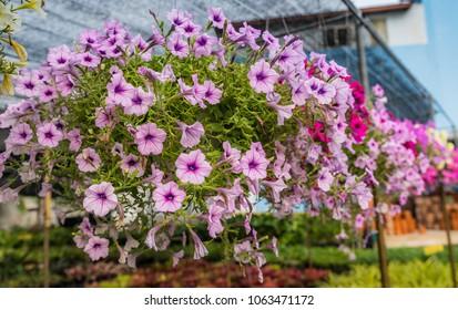 Flowerbed with multicoloured petunias ,colourful petunia (Petunia hybrida) flowers