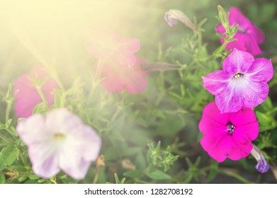 Flowerbed with multicoloured petunias Image full of colourful petunia Petunia hybrida flowers