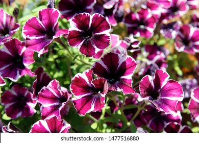 Flowerbed with multicoloured petunias. Image full of colourful petunia (Petunia hybrida) flowers. for postcards, brochures about gardening and landscape design. For the design of chancellery