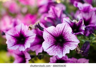 Flowerbed with multicoloured petunias / Image full of colourful petunia (Petunia hybrida) flowers