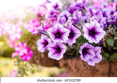 Flowerbed with multicoloured petunias / Image full of colourful petunia (Petunia hybrida) flowers