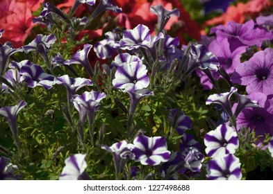 Flowerbed with multicoloured purple and violet petunias. Macro shot of beautiful colourful petunia Petunia hybrida flowers