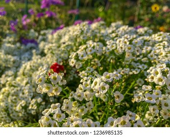 Flowerbed in old stub with bright multicolor flowers