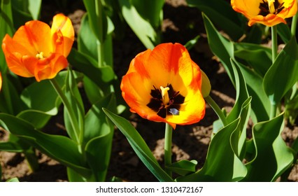 Flowerbed orange tulips