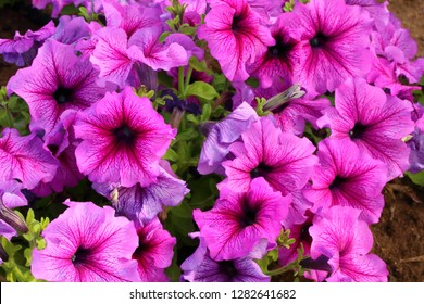 Flowerbed with pink color petunias,Petunia hybrida flowers,purple petunia flowers in the garden in Spring time. Shallow depth of field