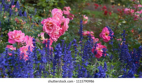 flowerbed with pink rose bush and blue lavender blossoms in summer