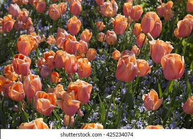 flowerbed of pink tulips