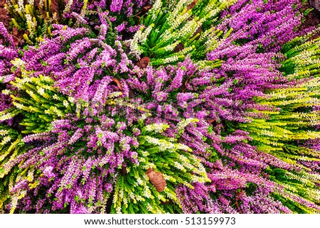 Flowerbed pink white heather flowers autumn stock photo edit now flowerbed with pink and white heather flowers autumn arrangement floral background grave decoration mightylinksfo