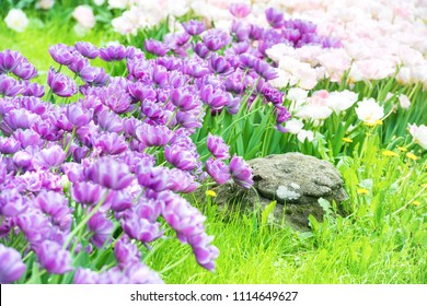 Flowerbed with purple and pink flowers tulips and green grass