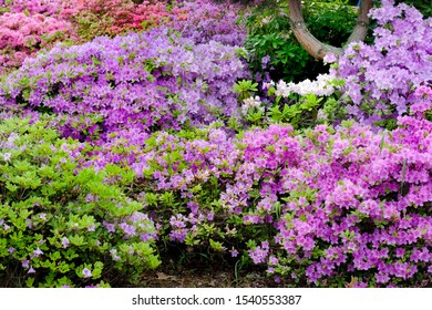 Flowerbed with purple and pink rhododendrons in city botanical garden