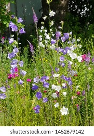 flowerbed with purple and white campanula flowers, fodder for bees