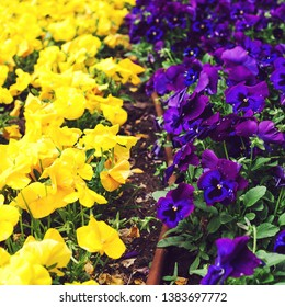 Flowerbed with purple and yellow petunias, close up. Colorful petunia flower Petunia hybrida in the garden