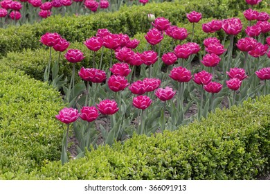A flowerbed of red tulips in botanical garden