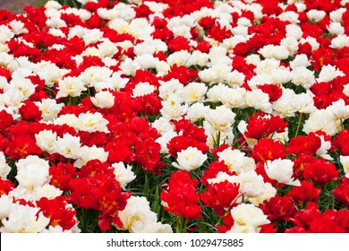 A flowerbed of red and white tulips(ABBA and Verona tulips)
