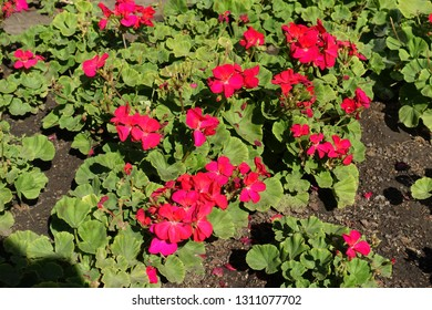 Flowerbed with red zonal pelargoniums in September