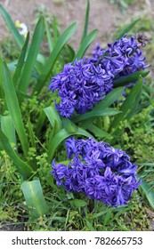 Flowerbed with spring blue hyacinth flowers.