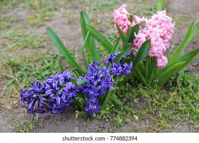 Flowerbed with spring pink and blue hyacinth flowers.