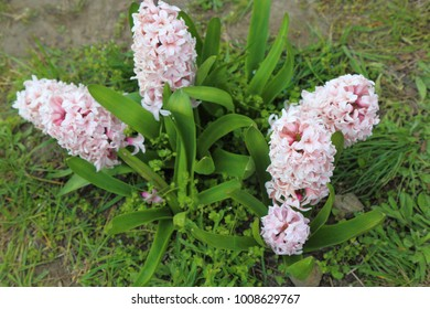 Flowerbed with spring pink hyacinth flowers.