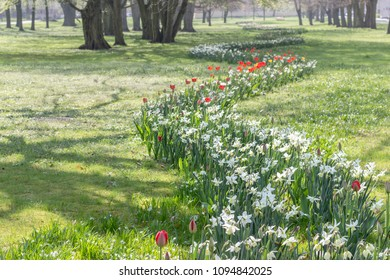 Flowerbed in spring with white daffodils