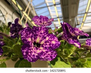 Flowerbed of starry night petunias, beautiful white on purple color