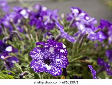 flowerbed of starry night petunias in garden, beautiful white on purple color, blurred background