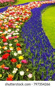 Flowerbed of tulips and hyacinth flowers in Keukenhof park garden, Netherlands, Holland