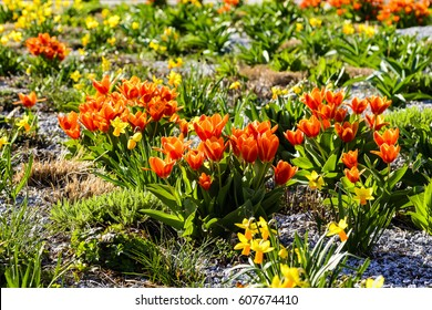 Flowerbed with tulips and narcissi