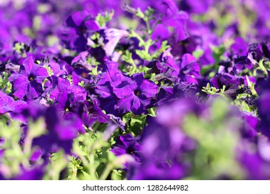 Flowerbed with violet color petunias,Petunia hybrida flowers,purple petunia flowers in the garden in Spring time. Shallow depth of field