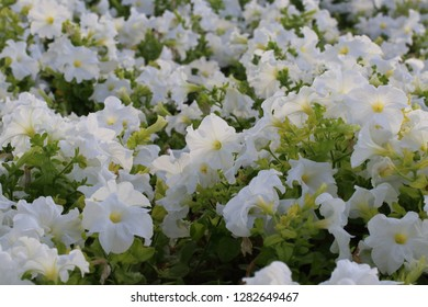 Flowerbed with white color petunias,Petunia hybrida flowers,white petunia flowers in the garden in Spring time. Shallow depth of field