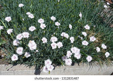 Flowerbed with white garden pink in bloom