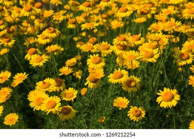 Flowerbed of Yellow Daisies in the Summertime