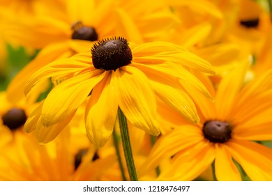 Flowerbed with yellow echinacea flowers - selective focus