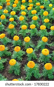 Flowerbed of yellow marigolds flowers