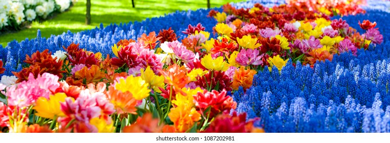 Flowerbeds with yellow, blue and red tulips. Park with flowers Keukenhof in the spring. Holland. Banner. Background