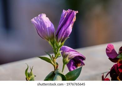 Flowerbuds of lisianthus or eustoma.
