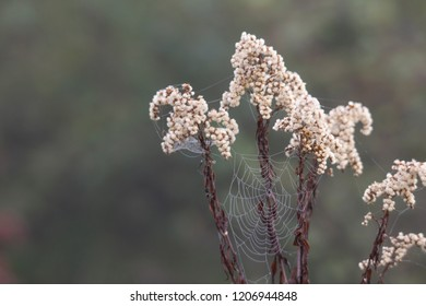 flowered seeds of a meadow plant with dew covered spider webs in autumn