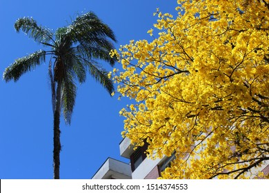 Flowered yellow ipe on a sunny day