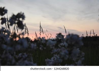Flowerfield in front of sunset in Estonia