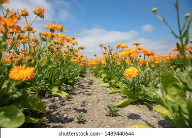 flowerfield in the Netherlands in frog perspective